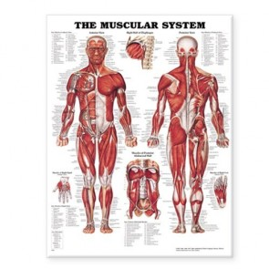 Anatomical Charts Giant Muscular